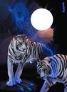 tigre et dauphin