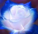 Bule Rose