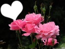 Vive les fleurs(roses tendresse)